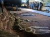 I resti di Giganotosauro al museo di El Chocón