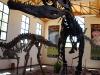 La replica di Giganotosauro al museo di El Chocón