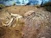 Resti quasi completi di un dinosauro al museo di I resti di Giganotosauro al museo di El Chocón
